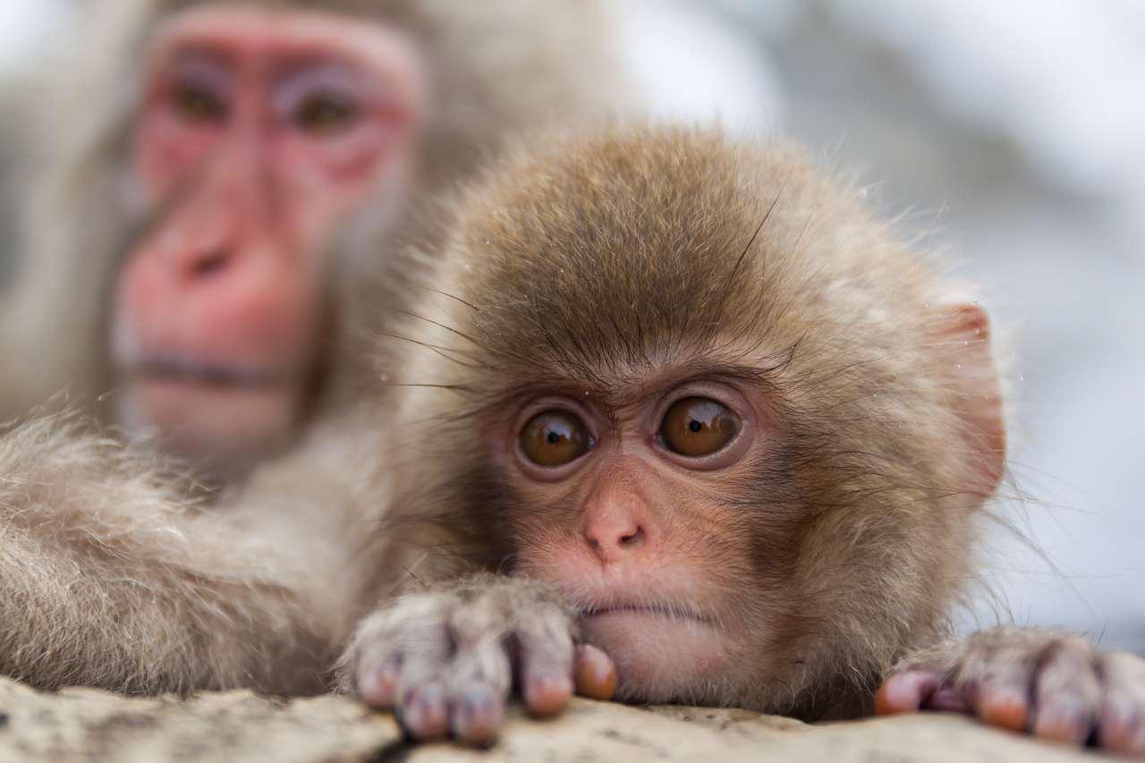Neuralink, sperimentazione sui macaco (Adobe Stock)