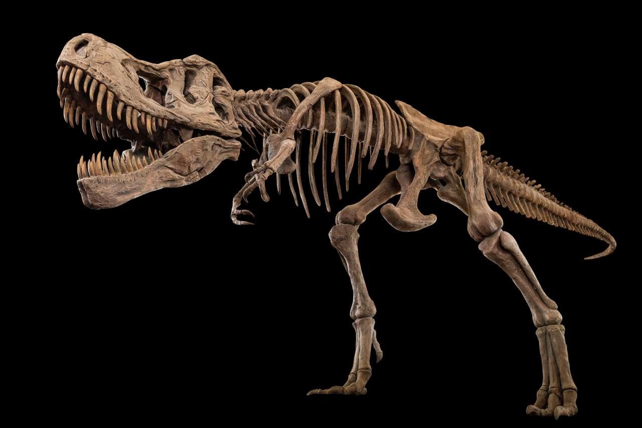 Scheletro di tirannosauro (Adobe Stock)