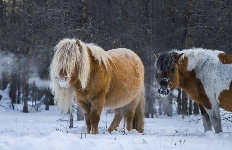 Cavalli yakut