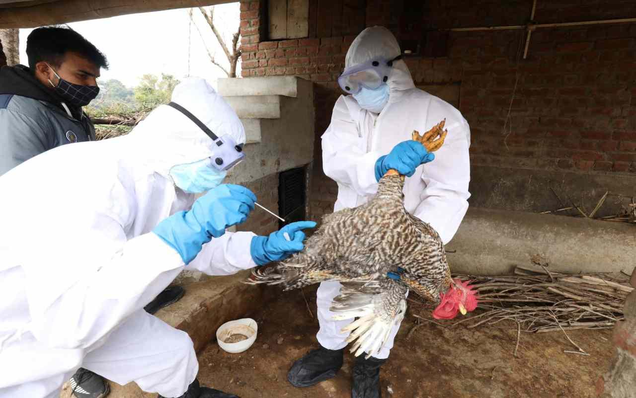 Virus H5N8 influenza aviaria (Foto Ansa)