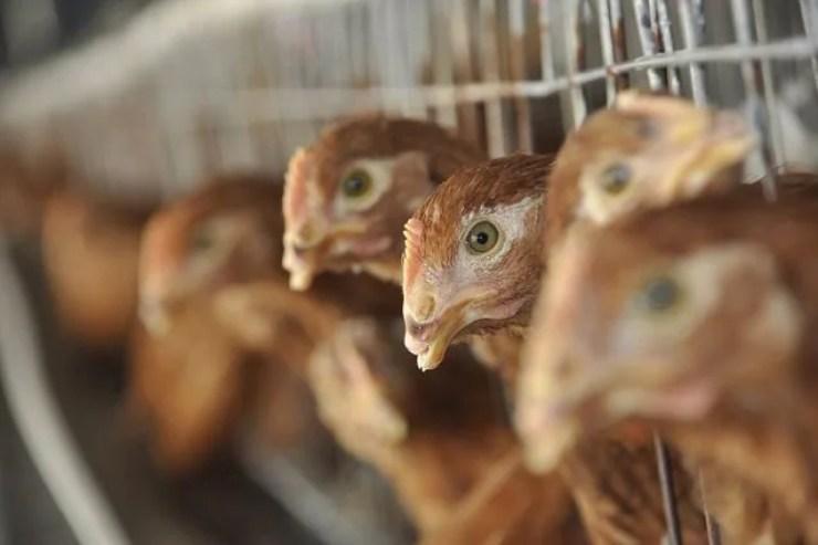 Influenza aviaria, primo caso in Cina (Foto Fanpage)